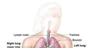 Giải phẫu hệ hô hấp, cho thấy khí quản và cả phổi và thùy và đường thở của chúng. Các hạch bạch huyết và cơ hoành cũng được hiển thị. Oxy được hít vào phổi và đi qua màng mỏng của phế nang và vào máu (xem phần phụ).