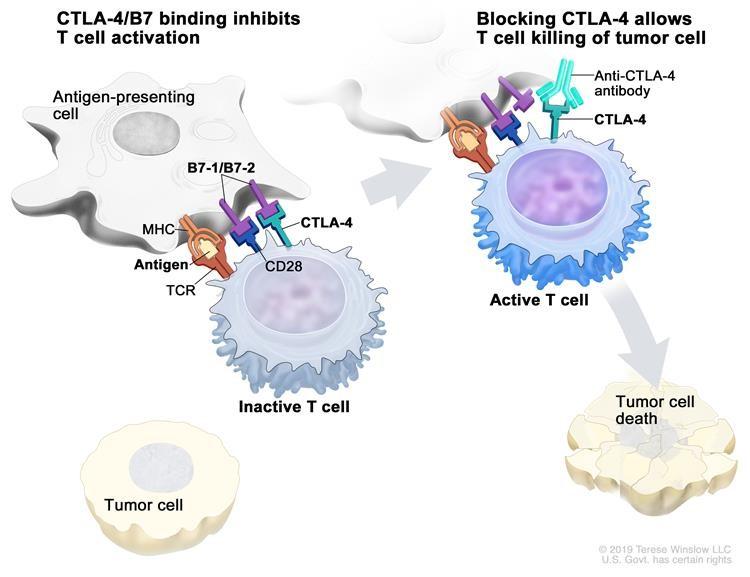 Chất ức chế kiểm tra miễn dịch. Các protein điểm kiểm tra, chẳng hạn như B7-1 / B7-2 trên các tế bào trình diện kháng nguyên (APC) và CTLA-4 trên các tế bào T, giúp kiểm tra các phản ứng miễn dịch của cơ thể. Khi thụ thể tế bào T (TCR) liên kết với kháng nguyên và protein phức hợp tương hợp mô lớn (MHC) trên APC và CD28 liên kết với B7-1 / B7-2 trên APC, tế bào T có thể được kích hoạt. Tuy nhiên, sự gắn kết của B7-1 / B7-2 với CTLA-4 giữ cho các tế bào T ở trạng thái không hoạt động để chúng không thể tiêu diệt các tế bào khối u trong cơ thể (bảng điều khiển bên trái). Ngăn chặn sự gắn kết của B7-1 / B7-2 với CTLA-4 bằng chất ức chế điểm kiểm soát miễn dịch (kháng thể chống CTLA-4) cho phép các tế bào T hoạt động và tiêu diệt các tế bào khối u (bảng bên phải).