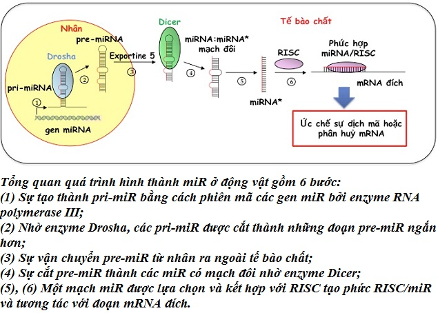 microrna sinh hoc chuc nang va vai tro trong ung thu, microrna la gi