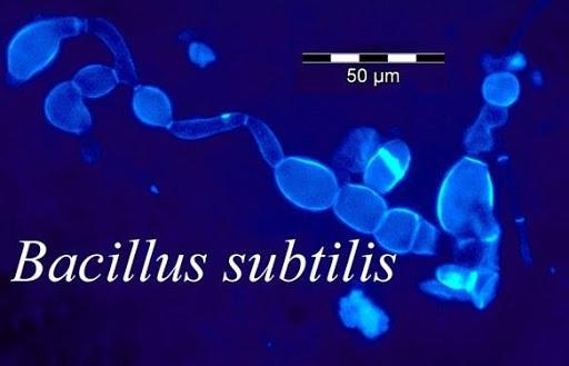 Enterobella (Bacillus clausii) - NhathuocLP
